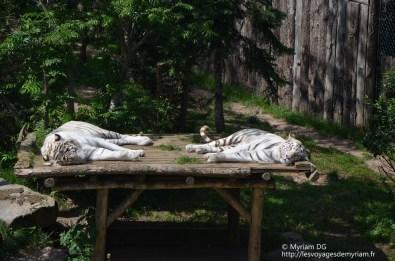 Les tigres blancs, féroces