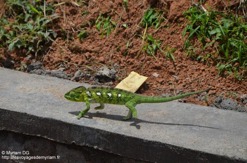 Beau caméléon juste devant chez moi !!!