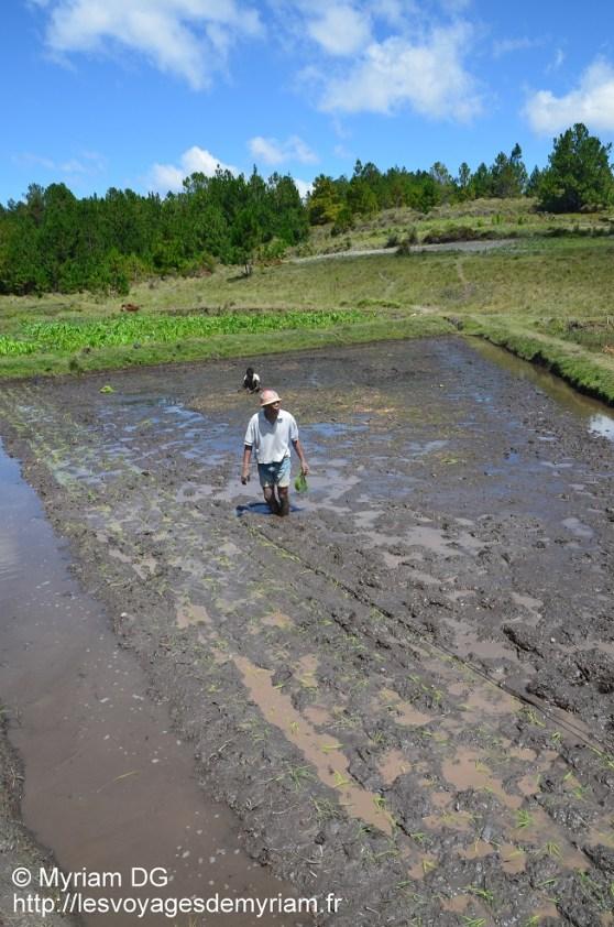 Joana plante son riz selon la méthode SRI