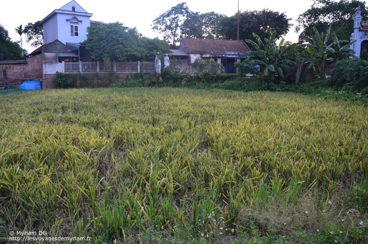 le riz une fois récolté