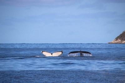 Baleines au large de Perth - Australie