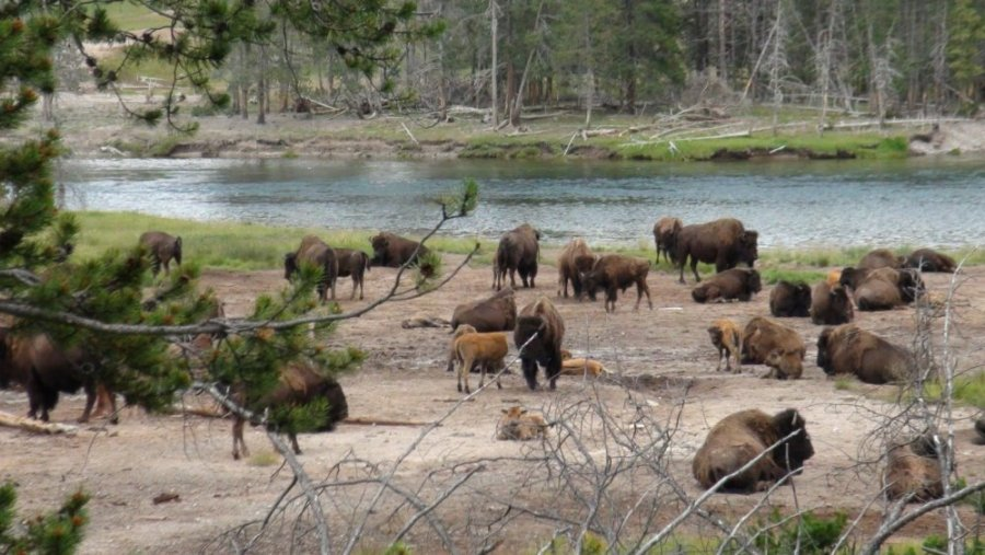 Troupeau de bisons- Yellowstone NP
