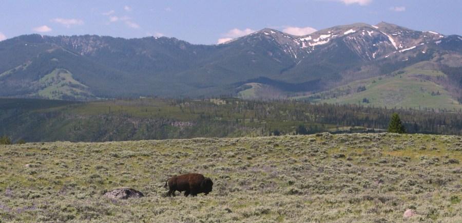Un bison solitaire, avec au fond le Mt Washburn (3122m) le plus haut sommet du parc de Yellowstone