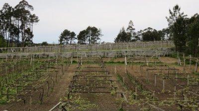 Vignobles - Entre St Jacques de Compostelle et Pontevedra
