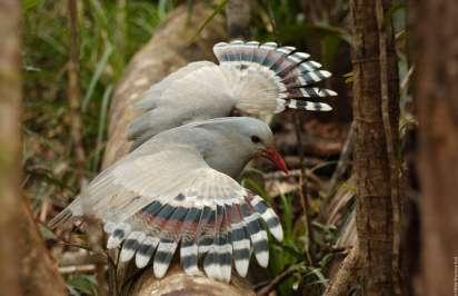 Cagou - Nouvelle Calédonie