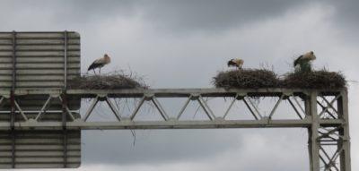 Nid de cigognes sur l'autoroute vers Aveiro
