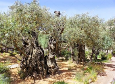 Champs d'oliviers entre Umag et Porec