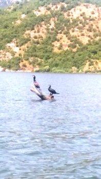 Des cormorans sur le lac Skadar - Monténégro