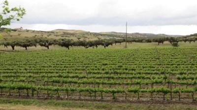 Vignobles et chênes-liège