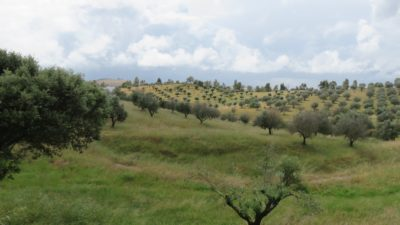 Des oliviers à perte de vue
