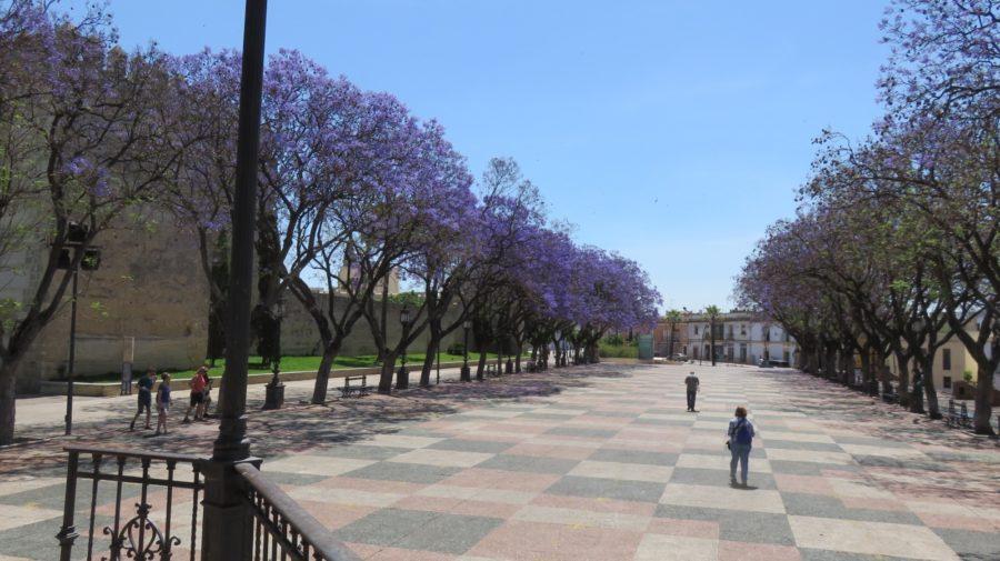 Jacarandas sur la place proche de l'Alcazar de Jerez de la Frontera