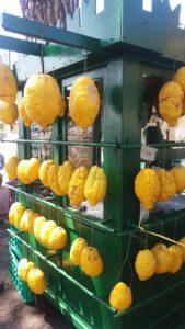 Enormes citrons...comme nous, pas pressés !