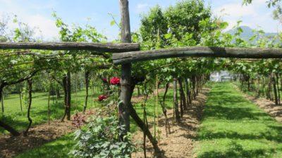Les vignes sur Monte Isola