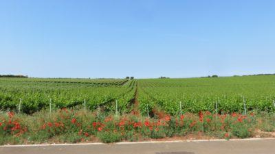 Vignobles entre Umag et Porec