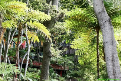 Fougères arborescentes du jardin tropical Monte - Madère