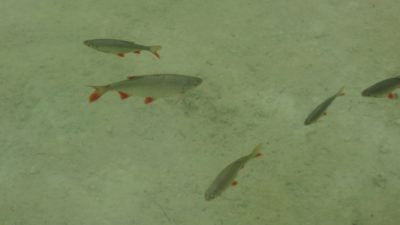 Les poissons du Parc National de Plitvice (Croatie)
