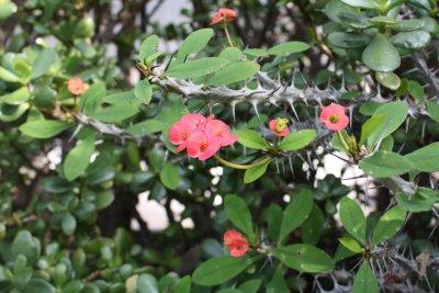L'épine du Christ - Jardin botanique de Funchal (Madère)