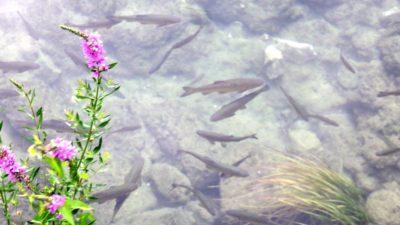 Poissons dans les eaux transparentes du parc de Krka - Croatie