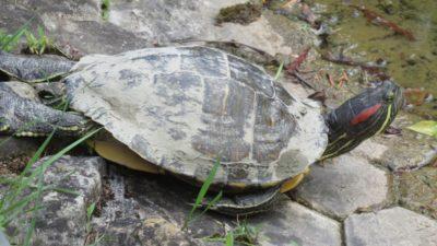 Tortue au jardin botanique - Zagreb