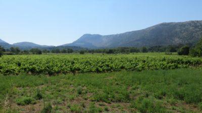 Des vignobles sur la presqu'île de Peljesac - Croatie