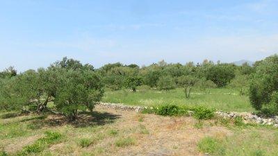 Des champs d'oliviers entre Doli et Slano - Croatie