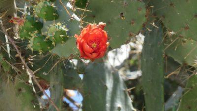 Fleurs de cactus à Herceg Novi- Monténégro