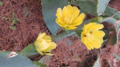 Fleurs de cactus à Perast - Monténégro