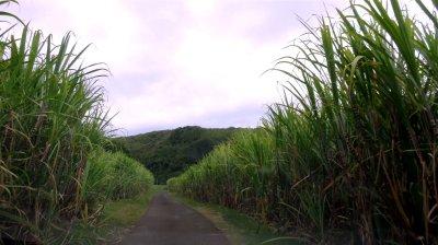Route entre les champs de canne à sucre - Réunion