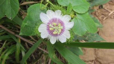 Passiflore (fleur du fruit de la passion)
