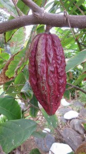 Cabosse de cacao - Réunion