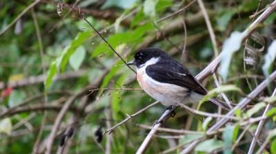 Un Tarier ou Tec Tec, oiseau emblématique de la Réunion