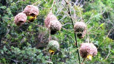 Nids de Tisserins - Réunion
