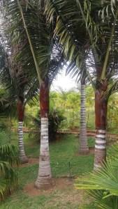 Le Parc des Palmiers - Le Tampon (Réunion)