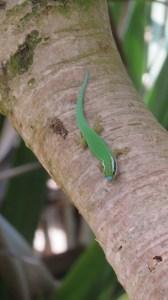 Le Gecko vert - Réunion