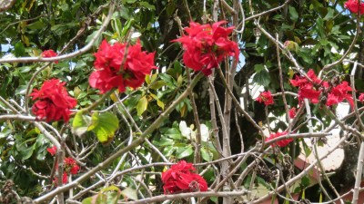 Fleurs - Cilaos