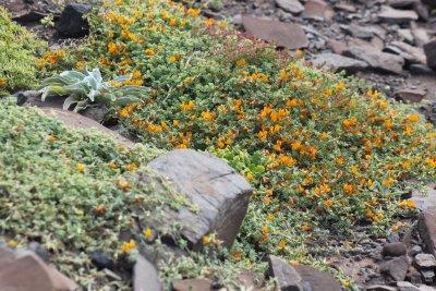 Végétation et flore à Ponta de Sao Lourenço - Madère