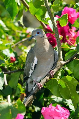Tourterelle à ailes blanches - Costa Rica