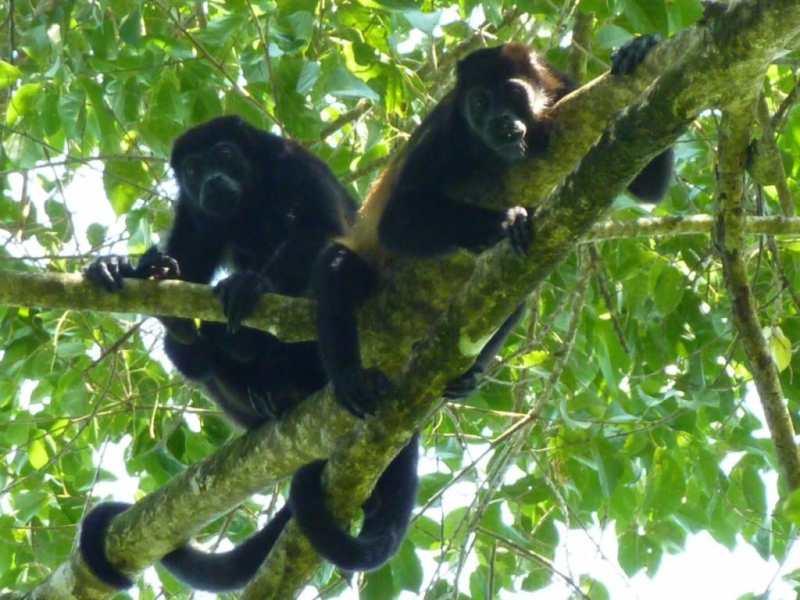 Des singes-hurleurs dans le parc de Cahuita - Costa Rica