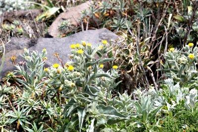 Flore au pied du Teleferico Achadas Da Cruz - Madère