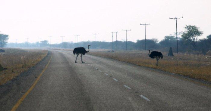 Autruches sur la route entre Khumaga et Motopi - Botswana