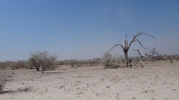 Paysage d'arbres au tronc brûlé sur la route entre Savuti et Mababe Gate - Botswana