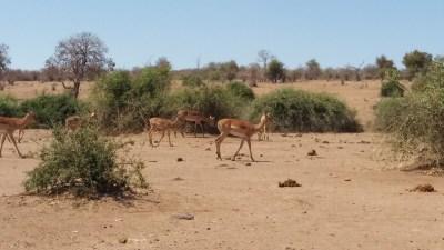 Impalas du parc national de Chobe - Botswana