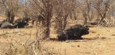 Buffles dans le parc national de Chobe - Botswana