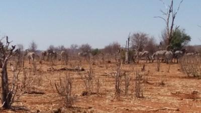Zèbres du parc national de Chobe - Botswana