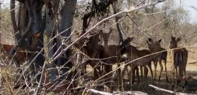 Impalas à l'ombre - Botswana