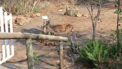 Bushbuck au Old House lodge de Kasane - Botswana