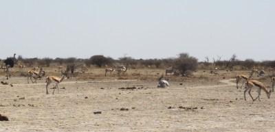 Autruche et springboks - Nxai Pan NP (Botswana)