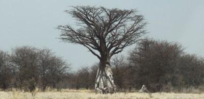Baobab calciné - Nxai Pan NP (Botswana)