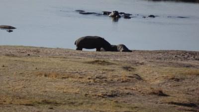 Hippopotames au bord de la rivière Chobe - Botswana