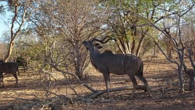 Kudu dans le parc de Chobe - Botswana